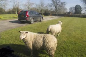 'Wild' sheep